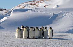 Colony, flock - Emperor Penguins in Antarctica. Overall plan. Colony, flock - Emperor Penguins in Antarctica. Penguins stand in the snow on a sunny day. Council royalty free stock photography