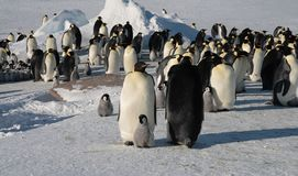 Colony, flock - Emperor Penguins in Antarctica. Overall plan. Colony, flock - Emperor Penguins in Antarctica. Penguins stand in the snow on a sunny day. Small stock photo