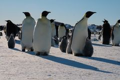 Colony, flock - Emperor Penguins in Antarctica. Overall plan. Colony, flock - Emperor Penguins in Antarctica. Penguins stand in the snow on a sunny day. Small royalty free stock photography