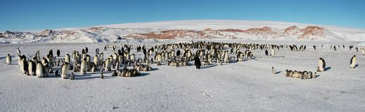 Colony, flock - Emperor Penguins in Antarctica. Overall plan. Colony, flock - Emperor Penguins in Antarctica. Penguins stand in the snow on a sunny day. Small royalty free stock photo