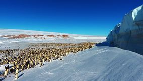 Colony, flock - Emperor Penguins in Antarctica. Sunny day.Overall plan. Colony, flock - Emperor Penguins in Antarctica. Penguins stand in the snow on a sunny day royalty free stock photos