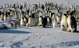 Colony, flock - Emperor Penguins in Antarctica. Overall plan. Colony, flock - Emperor Penguins in Antarctica. Penguins stand in the snow on a sunny day. Small royalty free stock images