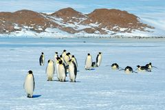 Colony, flock - Emperor Penguins in Antarctica. Overall plan. Colony, flock - Emperor Penguins in Antarctica. Penguins stand in the snow on a sunny day. A bright stock image