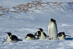 Colony, flock - Emperor Penguins in Antarctica. Overall plan. Colony, flock - Emperor Penguins in Antarctica. Penguins stand in the snow on a sunny day. A bright stock photos