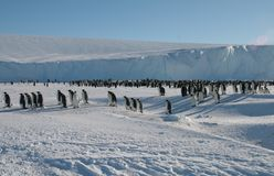 Colony, flock - Emperor Penguins in Antarctica. Overall plan. Colony, flock - Emperor Penguins in Antarctica. Penguins stand in the snow on a sunny day. A bright royalty free stock photography