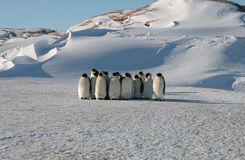 Colony, flock - Emperor Penguins in Antarctica. Overall plan. Colony, flock - Emperor Penguins in Antarctica. Penguins stand in the snow on a sunny day. A bright stock images