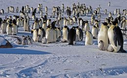 Colony, flock - Emperor Penguins in Antarctica. Overall plan. Colony, flock - Emperor Penguins in Antarctica. Penguins stand in the snow on a sunny day. A bright royalty free stock images