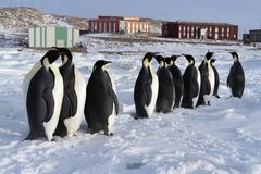 Colony, flock - Emperor Penguins in Antarctica. Overall plan. Colony, flock - Emperor Penguins in Antarctica. Penguins stand in the snow on a sunny day. A stock image