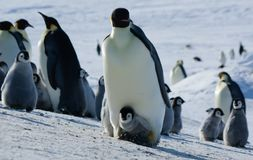 Colony, flock - Emperor Penguins in Antarctica. Overall plan. Colony, flock - Emperor Penguins in Antarctica. Penguins stand in the snow on a sunny day. Small stock image