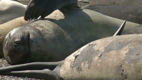 Colony of fur seals. Argentina stock footage