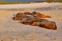 Colony of Galapagos sea lions sleeping in sunset light. Colony of sea lions sleeping in sunset light on the beach at Cero Brujo, on San Cristobal Island Royalty Free Stock Image