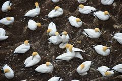 Colony of gannets gathered for breeding season at Muriwai Stock Images
