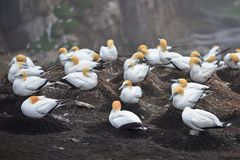 Colony of gannets gathered for breeding season at Muriwai Stock Image