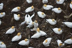 Colony of gannets gathered for breeding season in New Zealand royalty free stock photo