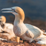 Colony of gannets at Helgoland island in North Sea, Germany Royalty Free Stock Photography