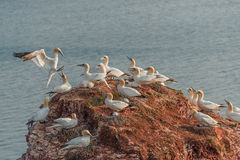 Colony of gannets at Helgoland island in North Sea, Germany Stock Images