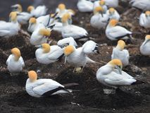 Colony of gannets looking after their eggs during breeding season in Muriwai Royalty Free Stock Images