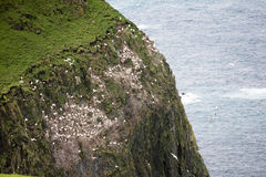 Colony of gannets Royalty Free Stock Image