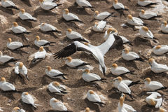 Colony of gannets nesting on cliffs Stock Photography