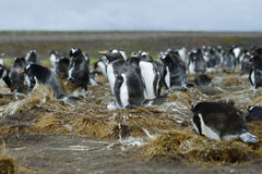 Colony of Gentoo penguins (Pygoscelis papua) at Volunteer Point, Royalty Free Stock Image