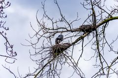 Colony of Great Blue Herons sitting near Chilliwack in beautiful British C stock images
