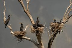 Colony of great cormorants Stock Photo