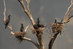 Colony of great cormorants. Birds Stock Photo