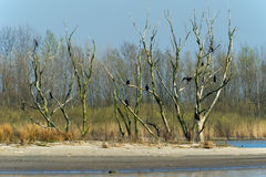 Colony Great Cormorants in tree Royalty Free Stock Photo