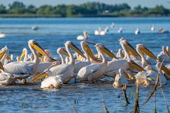 A colony of Great White Pelicans (Pelecanidae) and Dalmatian Pelicans (Pelecanus crispus) in the Danube Delta, Romania royalty free stock photo