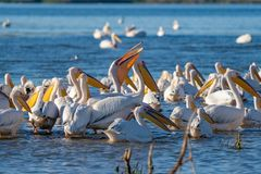 A colony of Great White Pelicans (Pelecanidae) and Dalmatian Pelicans (Pelecanus crispus) in the Danube Delta, Romania stock images