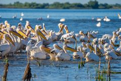 A colony of Great White Pelicans (Pelecanidae) and Dalmatian Pelicans (Pelecanus crispus) in the Danube Delta, Romania stock photos
