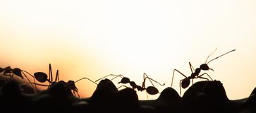 A colony of Green Ants having a conversation in a vine, abstract transparent of shape of ants at dusk, blur sunset background. Silhouette, selective focus royalty free stock photos