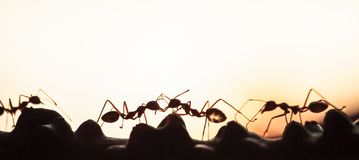 A colony of Green Ants having a conversation in a vine, abstract transparent of shape of ants at dusk, blur sunset background. Silhouette, selective focus stock images