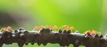 A colony of Green Ants having a conversation in a vine, bright transparent of ants, bokeh and natural green blur background. Selective focus. Social concept royalty free stock images
