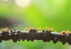 A colony of Green Ants having a conversation in a vine, bright transparent of ants, bokeh and natural green blur background. Selective focus. Social concept royalty free stock photo