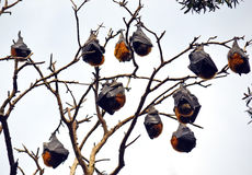 Colony of Grey Headed Flying Foxes stock photography