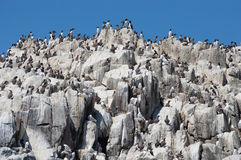 A colony of guillemots on rocks Royalty Free Stock Image