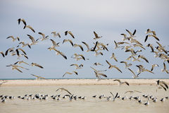 Colony of Gulls Stock Photography