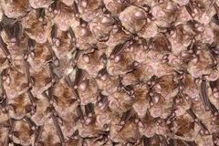 Colony of horseshoe bats. Greater horseshoe bat rhinolophus ferrumequinum in the cave Stock Photography