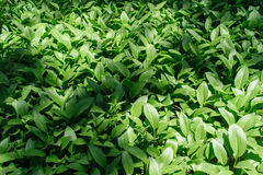 Colony of Hosta Royalty Free Stock Images