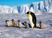 One penguin and several cubs are walk.The colony of Imperial penguins stands in the snow near the Iceberg. Shooting from the air. stock illustration