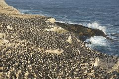 Colony of Imperial Shag  of Carcass Island in the Falklands Royalty Free Stock Image