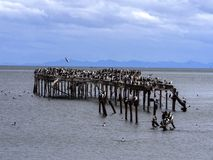 Colony of Imperial Shag, Phalacrocorax atriceps, on the coast of Punta Arenas, Patagonia, Chile. The colony of Imperial Shag, Phalacrocorax atriceps, on the Royalty Free Stock Images