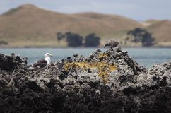 Colony of Kelp gulls Stock Photos