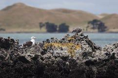 Colony of Kelp gulls Stock Photos
