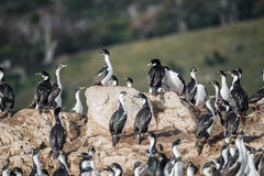 Colony of king cormorants Beagle Channel, Patagonia Stock Photos