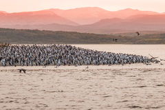 Colony of king cormorants Beagle Channel, Patagonia. Summer Royalty Free Stock Photo