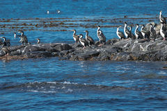 Colony of king cormorants Beagle Channel, Patagonia. Summer Stock Photos