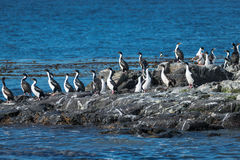Colony of king cormorants Beagle Channel, Patagonia Stock Image