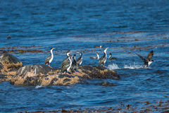 Colony of king cormorants Beagle Channel, Patagonia. Summer Stock Photo